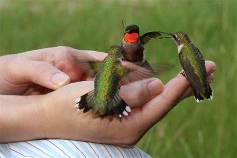 hand feeding hummingbirds neatorama