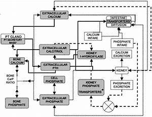 Block Diagram Of Calcium Homeostasis  Arrows  Equations Of