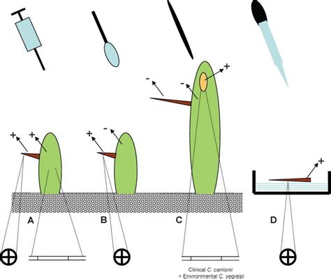 Diagram Of Saguaro Cactu by Diagram Of Inoculation Experiments With Results A