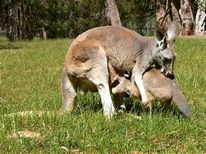 Free Images : home, wildlife, mammal, fauna, wallaby ...