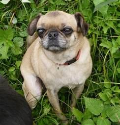 Pug Mix with Chihuahua