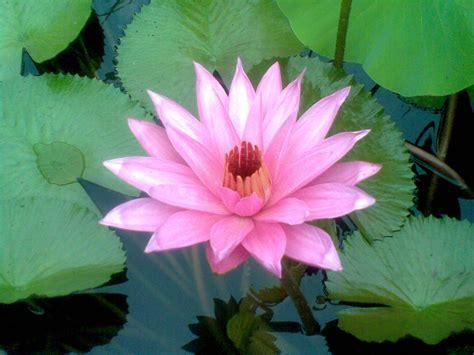informasi lengkap mengenai bunga teratai selingkarancom