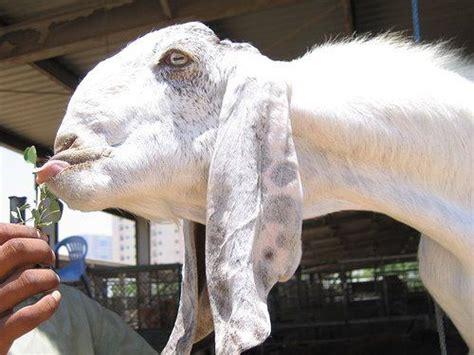 The Damascus Goat Looks Really Strange • Lazer Horse