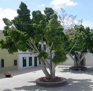 Ficus Benjamini Vermehren : ficus benjamina wikipedia la enciclopedia libre ~ Lizthompson.info Haus und Dekorationen
