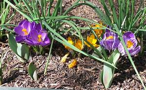 Planter Des Bulbes : planter et entretenir ses bulbes floraison printani re ~ Dallasstarsshop.com Idées de Décoration