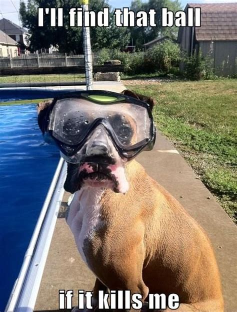Funny Boxer Dog Memes - 25 best boxer memes images on pinterest pets boxer dogs and boxers