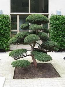 Arbre En Nuage : arbres nuage japonais bonsai geant juniperus virg 39 glauca 39 acheter vos arbres chez le ~ Melissatoandfro.com Idées de Décoration