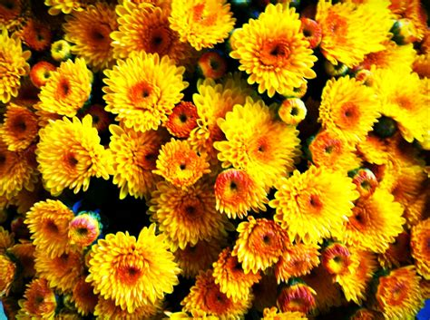 fall mums fall mums flowers mums pinterest