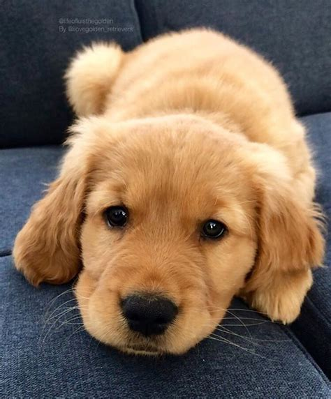 Pin By Nicole On Golden Retriever Puppies Dogs Cute