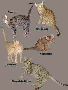 savannah cat chart the ocicat comes in 12 colors chocolate and