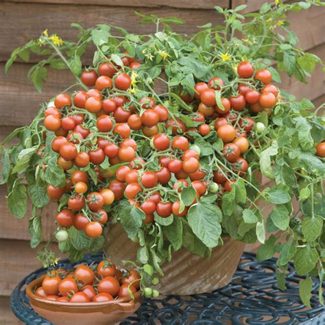 cultivation of tomatoes get growing tomato tumbling cherry cherry falls seeds from mr fothergill s seeds and plants