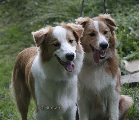 Color Clashes - Australian Shepherd Health & Genetics ...