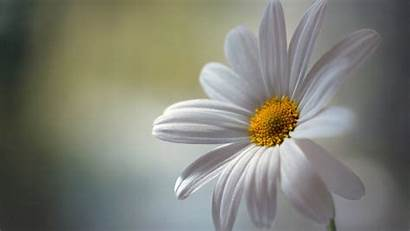 Daisy Wallpapers Margarida Flower Parede Papel Pantalla