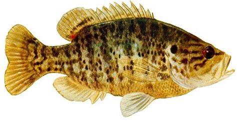 warmouth  call  yellow perch fish illustration
