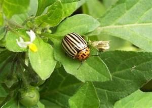 Käfer Im Garten : k fer im garten kartoffelk fer leptinotarsa decemlineata ~ Lizthompson.info Haus und Dekorationen