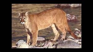 Image Gallery lion vs mountain lion