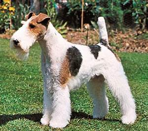 wire fox terrier -- Kids Encyclopedia | Children's ...