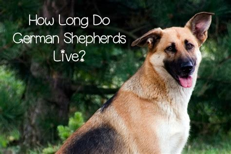How Long Do German Shepherds Live Dogvills