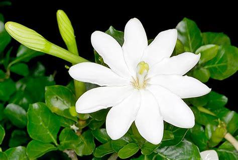 fiori molto profumati gardenia thunbergia monaco nature encyclopedia