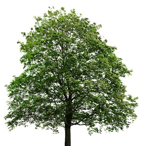 Tree Images No Background maple tree transparent background