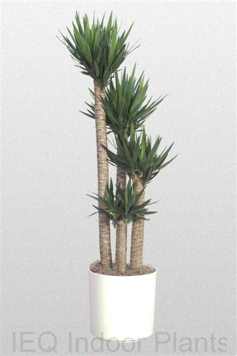 best indoor trees best indoor plants brisbane zanzibar gem low light plants