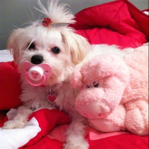 reasons maltese dogs    friendly dogs