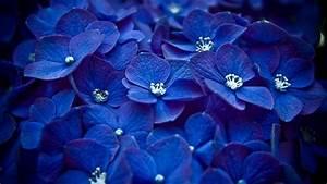 HD Blue Flower Wallpapers.