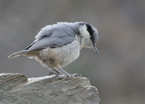 oriental bird club image database eastern rock nuthatch