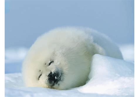 seal baby   vector art stock graphics images