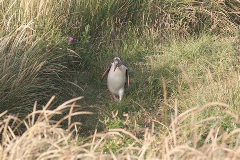 Jewel in the crown: New Zealand's yellow eyed penguin