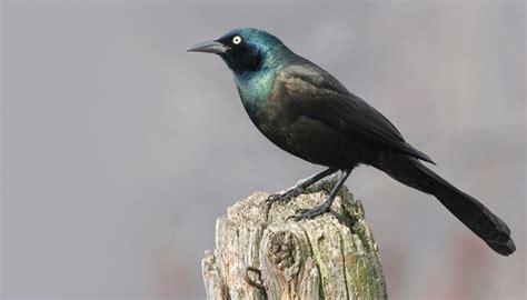 blackbirds wild birds unlimited wild birds unlimited