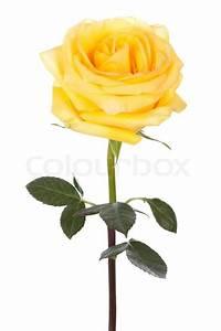 Single yellow rose on a white background | Stock Photo ...