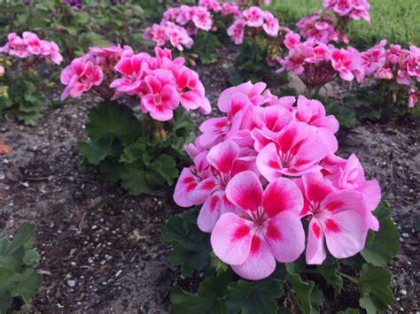 best flowers to plant best flowers to plant winter bing images