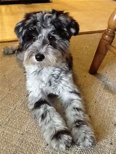 My schnoodle, Tinker | Tinker | Pinterest | Giant ...