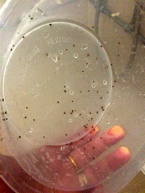 quick cheap  easy    rid  drain flies