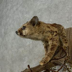 African Genet Cat Mount For Sale #16681 - The Taxidermy Store