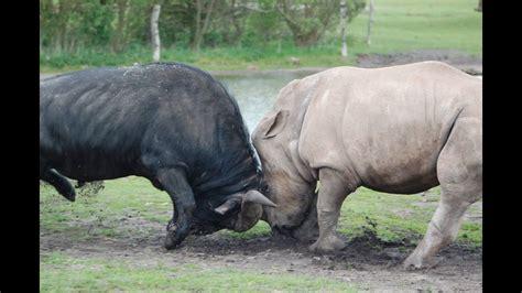 rhino  buffalo real fight  epic battle buffalo real