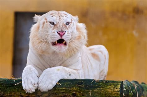 Golden Tiger Singapore Call The Wild