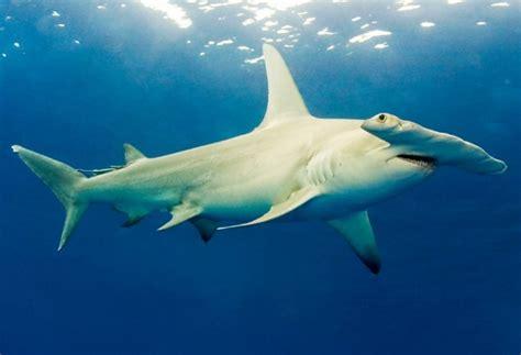 HAMMERHEAD SHARK TDF Blog
