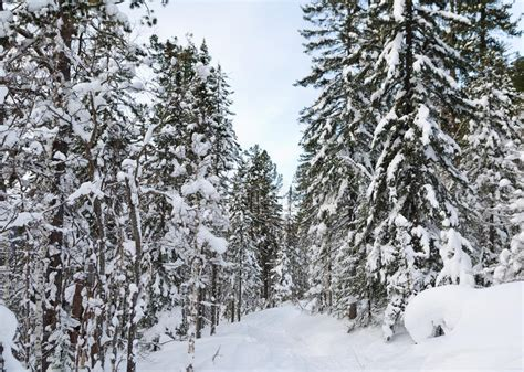 winter taiga stock image image  cold picturesque