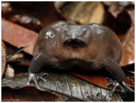 One of The Rarest Frogs in The World Moolf