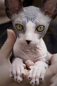 Sphynx cat | Cool animals | Pinterest