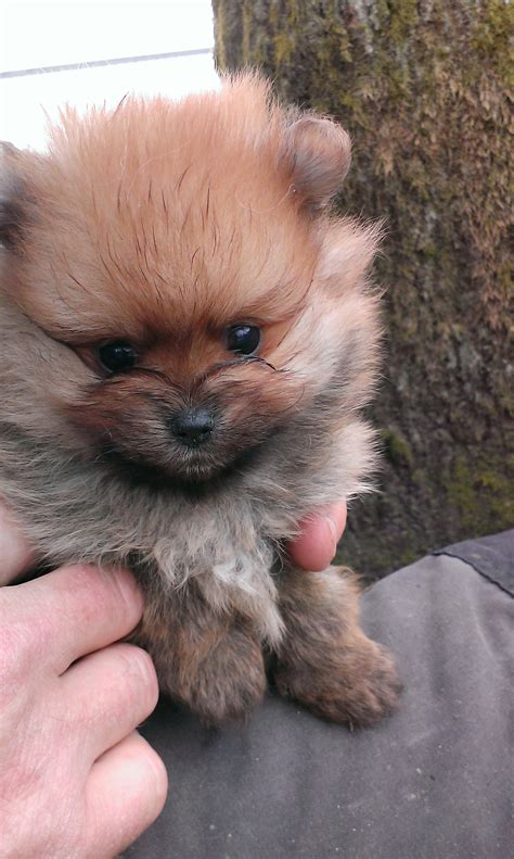 pomeranian and bichon dog breeds picture