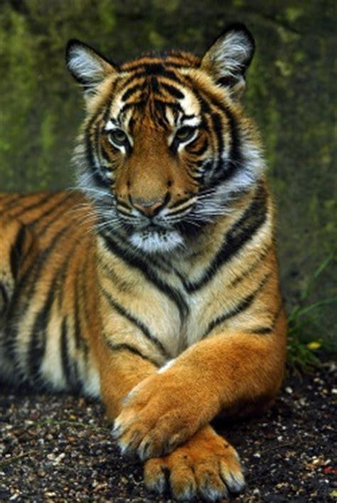 malaysia tiger tierdoku