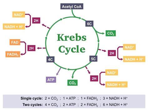krebs cycle bioninja