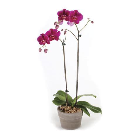 orchid 233 e en pot rona