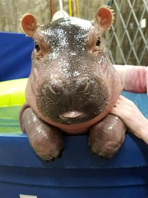baby hippo pictures     smile  ways