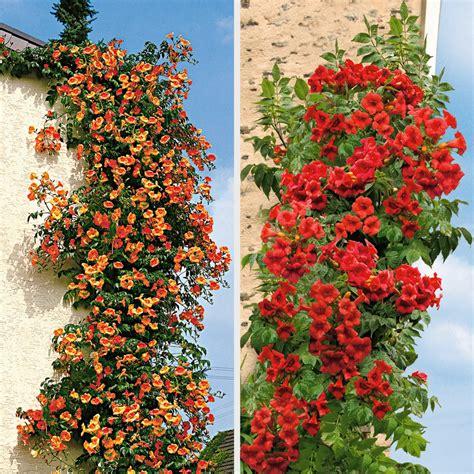 Kletterpflanzen Winterhart blühende kletterpflanzen winterhart rosa clematis stck bl hende