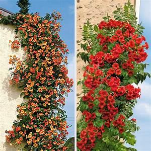 Kletterpflanzen Mehrjährig Winterhart : set preis 2 x jasmin trompeten online kaufen bei ahrens ~ Michelbontemps.com Haus und Dekorationen