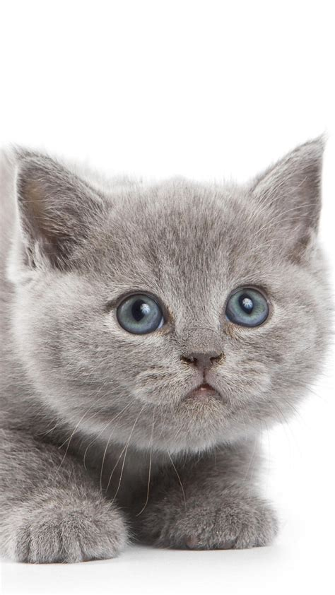 british shorthair kitten cute squat hd cat wallpaper